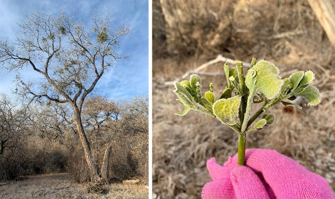 Mistletoe visible way up in a cottonwood canopy, left, and frost-covered mistletoe that had fallen to the ground at the Los Lunas Riverside Park bosque in December 2019.