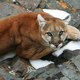 A photo of a mountain lion not believed to have been put down by Arizona Game and Fish Department officials for eating human remains.