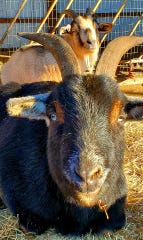 Toby the goat is back at The Phoenyx Farm and Sanctuary outside Delta after being goat-napped. His caretaker was alerted close to midnight on New Year's Eve 2019.