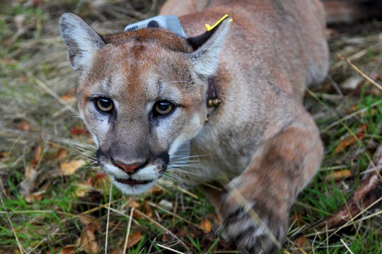 This photo provided by the U.S. National Park Service shows a mountain lion, newly dubbed P-79 with a new tracking collar, following its capture in a Simi Valley, Calif.