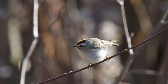 A golden-crowned kinglet at Woodland Dunes Nature Center in Two Rivers.