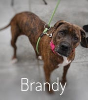Brandy, a 5-year-old mixed-breed spayed female, is one of the smartest and most loving pups you'll ever meet.