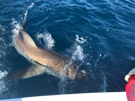 A great white shark took a blackfin tuna as bait for a charter fishing with Fishing Headquarters charter service in Fort Lauderdale.