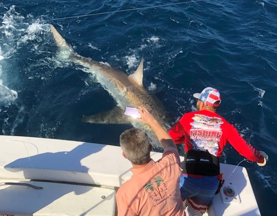 Out of the Blue mate Bobby Diaz, red shirt, handlines in a 13-foot long great white shark on Jan. 1, 2020 off Fort Lauderdale.