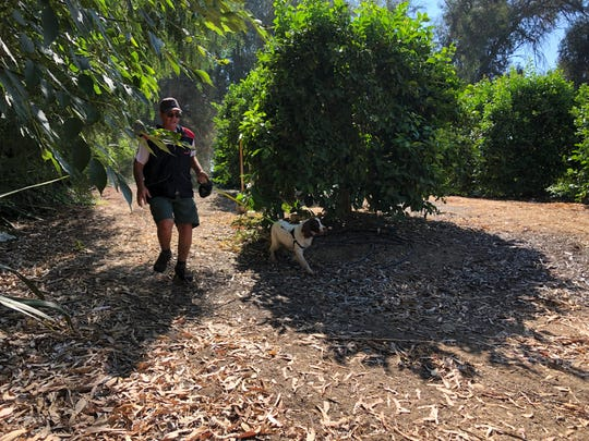 Bello, a springer spaniel, and Jerry Bishop, her handler, scouted a citrus orchard in Moorpark to find trees affected by the Asian citrus psyllid.