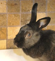 Say hello to Sasha. She is a rabbit. She was found in someone's yard and appears to be domesticated. She is playful and is looking for a new home. Sasha can be found at the Wichita Falls Animal Service Center located on Hatton Rd.