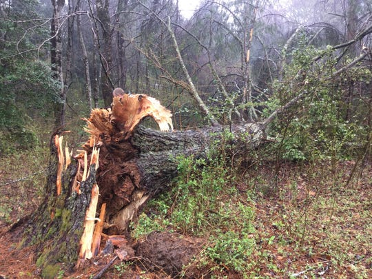 A pine tree in Davidson River Campground toppled over due to root rot. The U.S. Forest Service will temporarily close the campground starting Jan. 15 to remove trees susceptible to falling down from the disease.