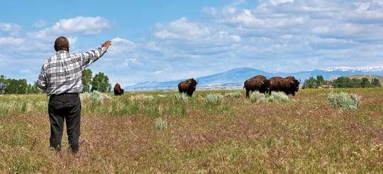 Five buffalo bulls who were to arrive at the Wind River Reservation in Wyoming for a summer ceremony were stuck in Montana. In their stead, five bulls from the existing Shoshone herd seemed to respond to a prayer offered by Shoshone elder William Roberts.