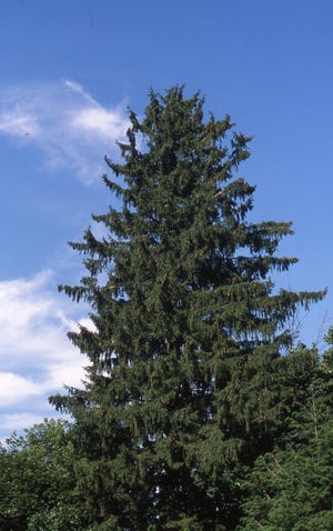 Over many years, a Norway Spruce becomes much too large for the average urban lot. As in this photo, it will grow 70 feet or more in height and have a spread of 30 feet or more.It requires ample space to become a fully developed tree.