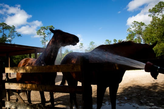 A pair of rescued thoroughbred horses enjoy the cool water from a hose, Friday, Jan. 3, 2020, at Track to Trail Thoroughbred  in Golden Gate.