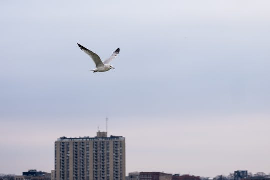 A seagull takes flight over the Blue Water River Walk Friday, Jan. 3, 2019, in Port Huron. St. Clair County is working with Macomb County to create a trail with stations between the two counties for people to see birds.