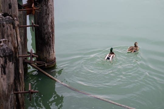Two ducks swim in the St. Clair River Friday, Jan. 3, 2019, near the Blue Water River Walk in Port Huron. St. Clair County is working with Macomb County to create a trail with stations between the two counties for people to see birds.