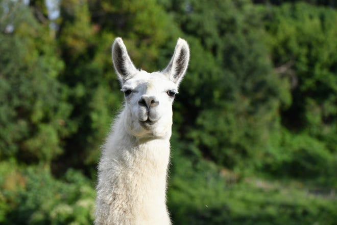Southern California police are searching for 20 to 30 llamas who may have been set free from an animal farm early this week.