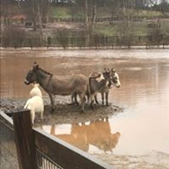 Floodwaters surround donkeys and goats Friday at Izzie's Pond, an animal rescue sanctuary in Pickens County.