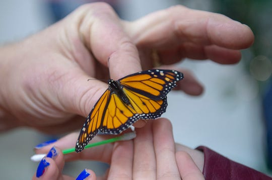 Butterflies are easy to manipulate and feed at Folk's Butterfly Farm at the Pennsylvania Farm Show on Saturday, Jan. 4, 2020.