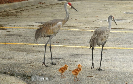Sandhill cranes, a threatened species, are often seen nesting or walking about parts of Brevard County. A family of sandhill cranes looks for lunch in Viera off of north Wickham Road in this 2019 photo. Grassland birds such as sandhill cranes are vulnerable from the ill impacts of climate change, a new Audubon report says.