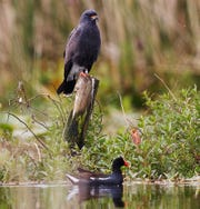 A male snail kite perches on a piling in Lake Tohopekaliga as a moorhen scoots by underneath. The snail kite is listed as endangered both federally and in Florida. The Kissimmee River and Chain of Lakes are two of its main habitats.  Audubon says grassland birds such as the snail kite are vulnerable from global warming.