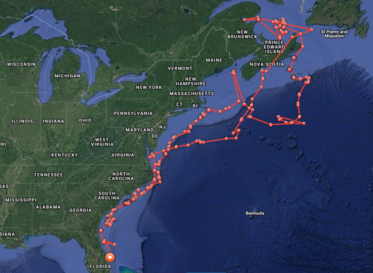 The entire track of Brunswick, the white shark tagged in February of 2019 at Hilton Head, South Carolina.