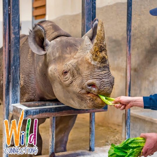 Visitors can feed rhinos during a behind-the-scenes Wild Connections tour at the Milwaukee County Zoo.