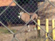 An oryx spotted on the west side of the New Mexico State University campus about 9:20 a.m. Sunday, Jan. 5, 2020.
