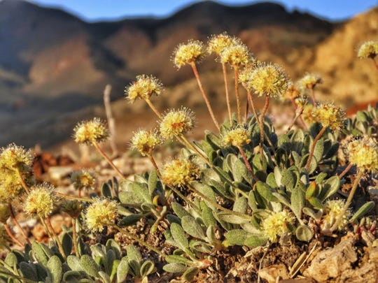 The rare desert wildflower Tiehm's buckwheat grows in the Silver Peak Range about 120 miles southeast of Reno, the only place it is known to exist.