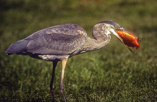 Agreat blue heron dines on a goldfish from a pond in Baltimore.