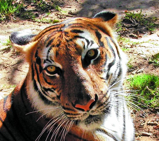 The El Paso Zoo is mourning the death of 24-year-old female Malayan Tiger, Melor, who died Monday in her exhibit.