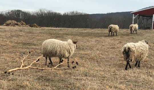 The sheep at Windy Oaks Farm in Mercersburg love to snack on donated Christmas trees and even eat through the bark, according to owner Linda Taggart.
