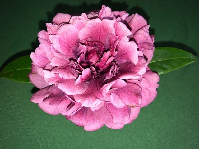 Rare purple blossom camellia exhibited at the 2019 Tallahassee Camellia Show.