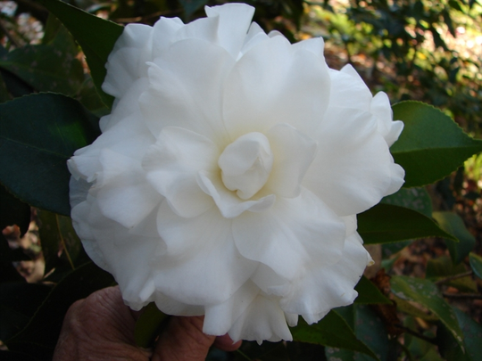 The Audrey Claire, a white japonica, developed and registered by the current president of the camellia society Maye Walker and named for her daughter.