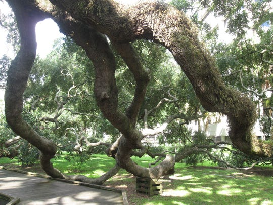 The massive gnarled branches of Treaty oak in Jacksonville curl down to the ground.