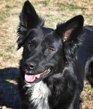 Blue is a 4-year-old, black and white, male Border Collie. He has been vaccinated, neutered and microchipped. Blue is sweet, gets along with other dogs and loves to fetch. He is available for adoption at the Wichita County Humane Society.
