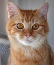 Marie is a one-year-old, orange tabby, domestic medium haired cat. She is spayed, vaccinated and microchipped. Marie is cute, playful and gets along with other cats. She is available for adoption at the Wichita County Humane Society.