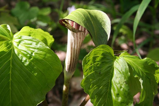 A Jack in the Pulpit plant, which is native to Iowa.