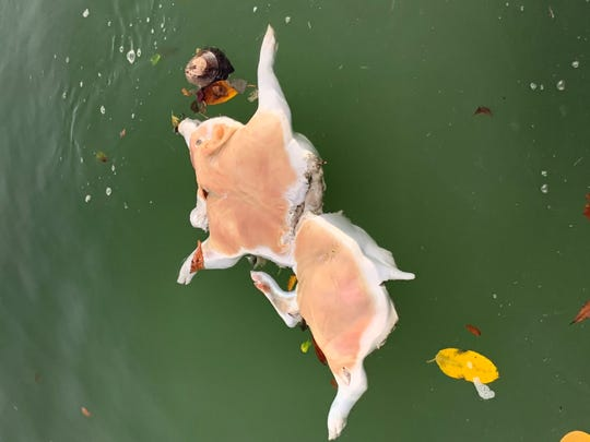 Captain Carlos Escarra of Gone Fishin' Charters spotted this dead pig in a Marco Island canal on Jan. 5.