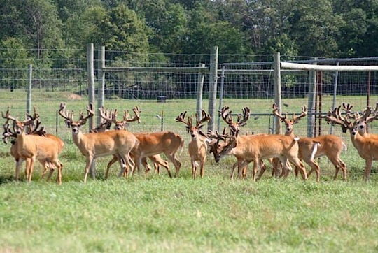 Captive white-tailed deer stand in an enclosure at a Burnett County, Wis. deer farm.