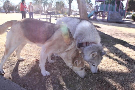 Gracie and Lakota sniff some grass at Pioneer Women's Park in Las Cruces, Tuesday, Jan. 7.
