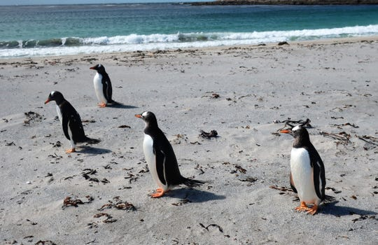 A colony of Gentoo penguins on the Falkland Islands.