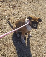 Three month old boxer/Australian Shepherd mix, Maggie Sue, was taken from San Angelo Academy on Jan. 2, 2020.