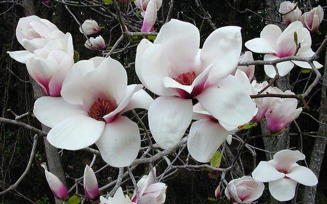 'Jon Jon' is a hybrid magnolia that flowers in late spring.