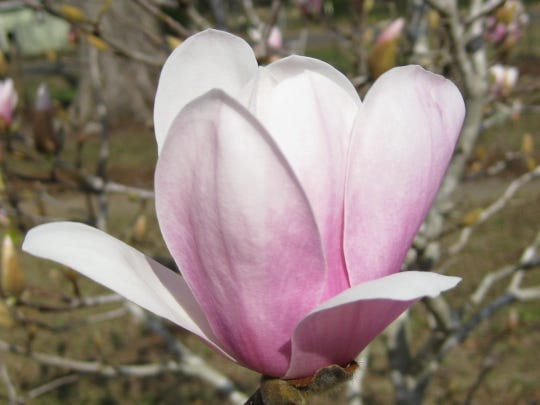 One of the oldest and most popular hybrids is the saucer magnolia.