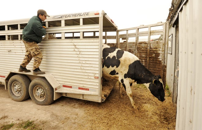 Unprotected cattlehauled at highway speeds can be subject to dangerous wind chills. If cattle are wet, the danger is even greater.
