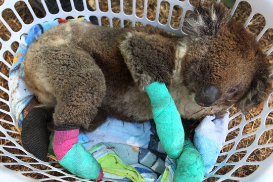An injured koala rests in a laundry basket on Jan. 8 on Kangaroo Island, Australia. The Kangaroo Island Wildlife Park on the edge of the fire zone has been treating and housing close to 30 koalas a day. Bushfires have burned more than 380,000 acres on Kangaroo Island.