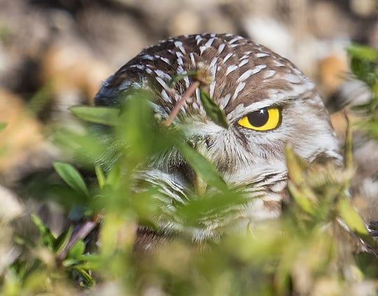 A burrowing owl peeks out from its Cape Coral home on Wednesday Jan, 8, 2020.