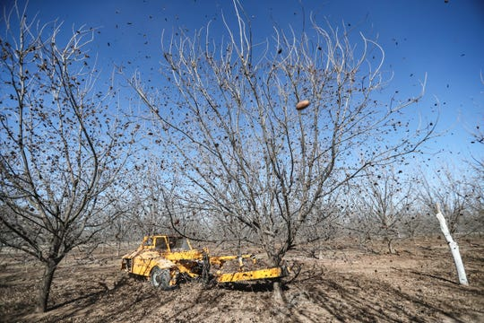 Pecans are harvested at Five Friends Farms in Las Cruces on Friday Jan. 3, 2020.