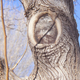 The partial donut formed on this poorly pruned mulberry tree in Albuquerque is an example of what happens when the branch collar is nicked and cannot form a full donut ring to seal the wound at the surface.