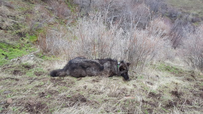 This photo of OR-59 was taken Feb. 9, 2018, when he was sedated and outfitted with a GPS tracking collar. OR-59, an endangered gray wolf, was shot Dec. 5, 2018 in Modoc County.