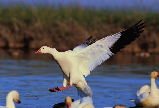 Arctic-dwelling snow geese migrate as far as 6,000 miles to the Sacramento Valley every winter to feed.