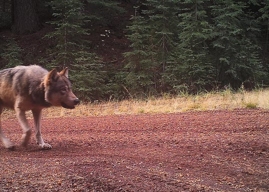 A photo of gray wolf OR-7 taken by remote camera on Oct. 23, 2016 in Klamath County, Oregon.