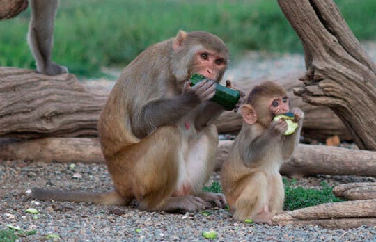 Rhesus monkeys are seen in their outdoor enclosure at the California National Primate Research Center in Davis, Calif. A group of the animals exposed to wildfire smoke as infants have developed lungs that are about 20 percent smaller than other rhesus monkeys.